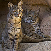 Bobcat 8 Print by Arterra Picture Library