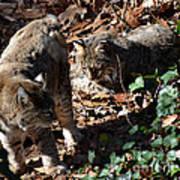 Bobcat Couple Print by Eva Thomas
