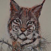 Bobcat Print by Dorothy Campbell Therrien