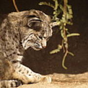 Bobcat Print by James Peterson