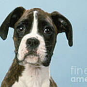 Boxer Dog, Close-up Of Head Print by John Daniels