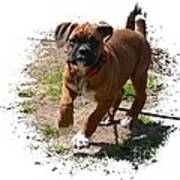Boxer Puppy 14-1 Print by Maria Urso