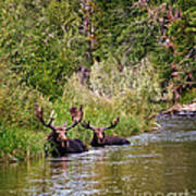 Bull Moose Summertime Spa Print by Timothy Flanigan
