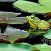 Bullfrog Print by Jim Zipp