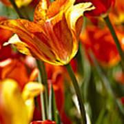 Tulips-flowers-tulips Burning Print by Matthew Miller