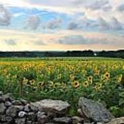Buttonwood Farm Sunflowers Print by Andrea Galiffi