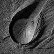 California Sand Dollar Print by Puget  Exposure