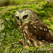 Canada's Smallest Owl - Saw Whet Owl Print by Inspired Nature Photography Fine Art Photography