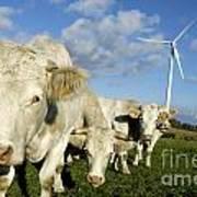 Cattle Print by Bernard Jaubert