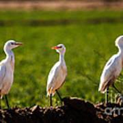 Cattle Egrets Print by Robert Bales