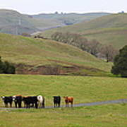 Cattles At Fernandez Ranch California - 5d21062 Print by Wingsdomain Art and Photography