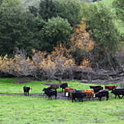 Cattles At Fernandez Ranch California - 5d21071 Print by Wingsdomain Art and Photography
