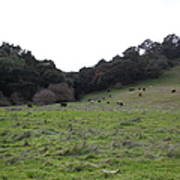 Cattles At Fernandez Ranch California - 5d21104 Print by Wingsdomain Art and Photography