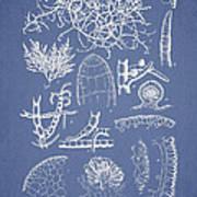 Champia Parvula Print by Aged Pixel
