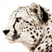 Cheetah Print by Jacky Gerritsen
