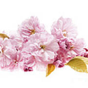 Cherry Blossoms Arrangement Print by Elena Elisseeva