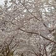 Cherry Blossoms - Washington Dc - 011363 Print by DC Photographer