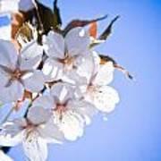 Cherry Tree Blossoms Close Up Print by Raimond Klavins