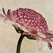 Chrysanthemum Domino Pink Print by John Edwards