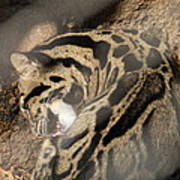 Clouded Leopard - National Zoo - 01134 Print by DC Photographer
