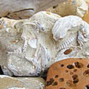 Coastal Shell Fossil Art Prints Rocks Beach Print by Baslee Troutman