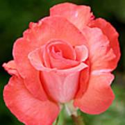 Cobra Rose  Print by Christine Till