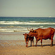 Cows On Sea Coast Print by Raimond Klavins