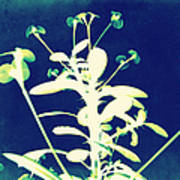 Crown Of Thorns - Blue Print by Shawna Rowe