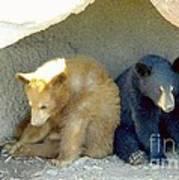 Cubs In A Pod Print by Kim Petitt