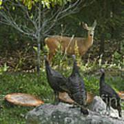 Deer And Wild Turkeys Print by Ron & Nancy Sanford
