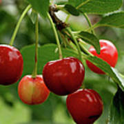 Delicious Cherries Print by Sandy Keeton
