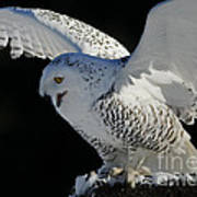 Destiny's Journey - Snowy Owl Print by Inspired Nature Photography Fine Art Photography
