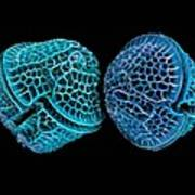 Diatoms, Sem Print by Science Photo Library