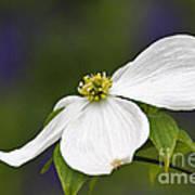Dogwood Blossom - D001797 Print by Daniel Dempster