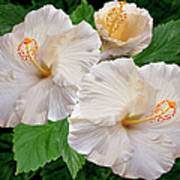 Dreamy Blooms - White Hibiscus Print by Ben and Raisa Gertsberg
