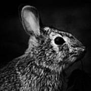 Eastern Cottontail Rabbit Portrait Print by Rebecca Sherman