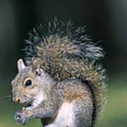 Eastern Gray Squirrel Print by Millard H. Sharp