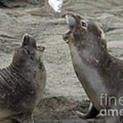 Elephant Seal Confrontation Print by Mark Newman