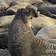 Elephant Seals Print by Bob Christopher