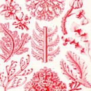 Examples Of Florideae From Kunstformen Der Natur Print by Ernst Haeckel