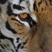 Eye Of The Tiger Print by Ernie Echols