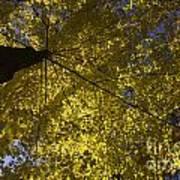 Fall Maple Print by Steven Ralser