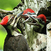 Female Pileated Woodpecker At Nest Print by Mircea Costina Photography