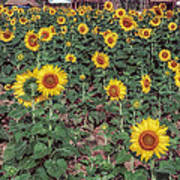 Field Of Sunflowers Print by Adrian Evans