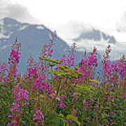 Fireweed Print by Jim Cook
