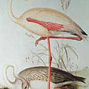 Flamingo Print by Edward Lear