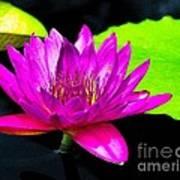 Floating Purple Water Lily Print by Nick Zelinsky