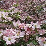 Flourishing Pink Magnolias Print by Deborah  Montana