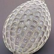 Foraminiferan, Sem Print by Power And Syred