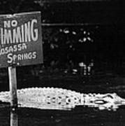 Gator At Homossa Springs Print by Retro Images Archive